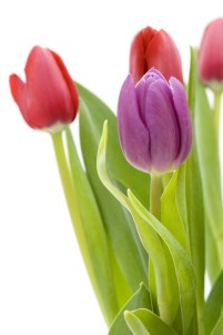 LORIE ANN JERMOUNE SAYS,:FEB 23, 2013- LORIE ANN JERMOUNE-Tulips in a vase, focus on flower in foreground TIP TOE AND KNOW THAT YOU ARE THE TULIP TO YOUR OWN STEPS OF INTENTION. LORIE ANN JERMOUNE 2-23-2013″