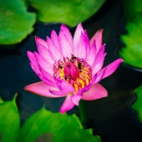 flower-lotus-lily-pad