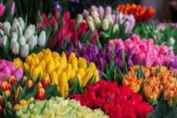 colorful-flowersbulbs