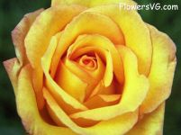 rose_yellow_red_flower